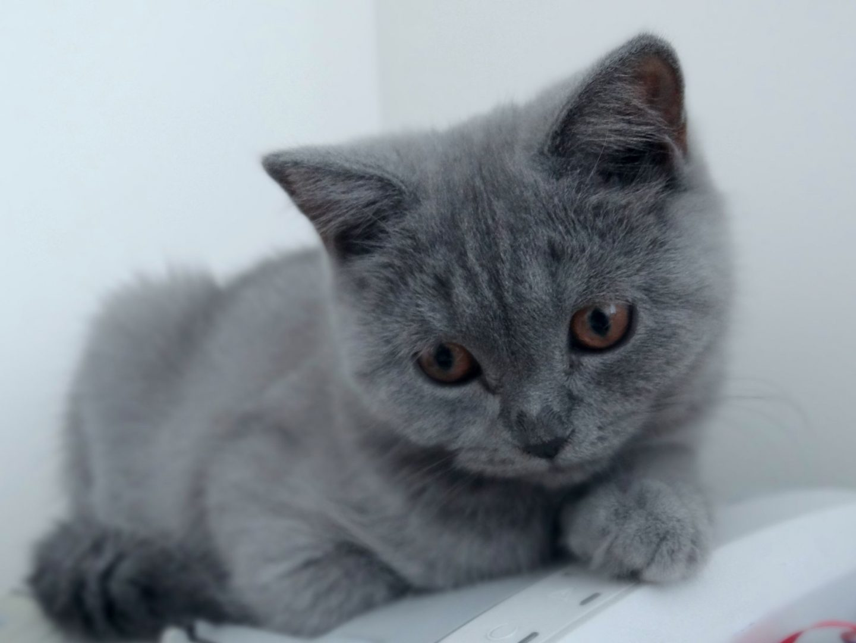 scottish-fold-cat